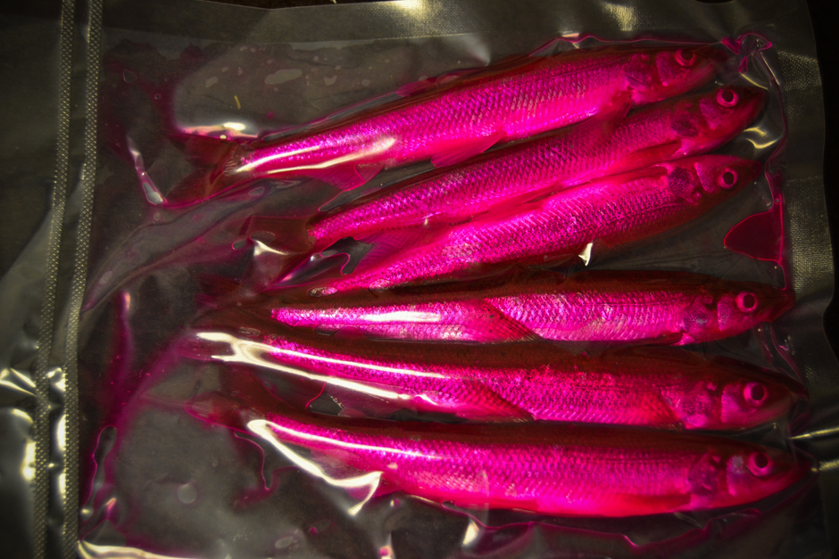"Preserved Smelt (5-6"") 6ct - Dyed Pink"